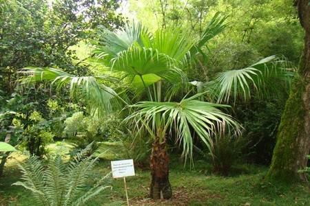 Карликовая пальма